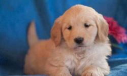 Cream Golden Retriever Puppies available pure breed