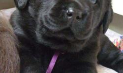 DϠoϠgϠ�������� Truley pure Labrador puppy for at New in