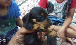 dachund female 2 year old for sell