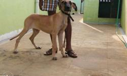 dane female sale with kci certificate 4 months,