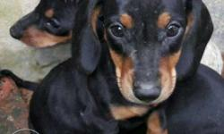 Dash Hunt Female Puppy's For Sale (28 Days Old)