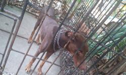 Doberman male 2 year result proven male for sell at