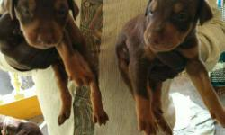 Doberman available male 10000 Female 8000 pinscher