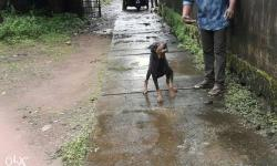 Doberman Femail dog for sale Doberman Black and brown