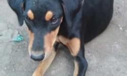 Doberman female 6 month cell and excheng