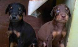 Doberman male and female puppy's available