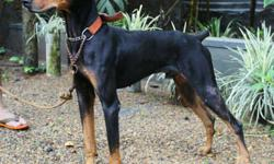 Black And Tan Doberman Pinscher Puppy