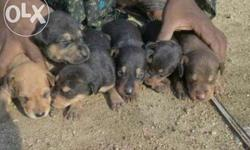 Very healthy and active doberman puppies are available.