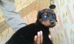 Doberman pup for sell