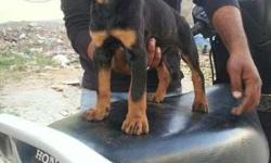 high quality doberman puppies sales with kci