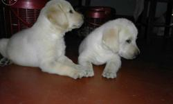 Dog house present Labrador puppy 42days available ready