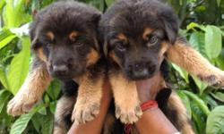 double coated gsd puppy ready Stock available contact