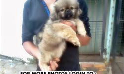 BREED : PEKINGESE - [See Original Pictures] AGE : 38