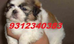 Beautiful and Top Quality Shihtzu Pure Breed New Born