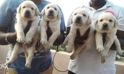 Excellent qulaity Labrador puppies available Male 12509