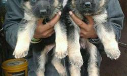 We have show quality German Shepherds male and female