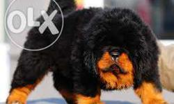 exciting litter of well breed Tibetan mastiff puppies