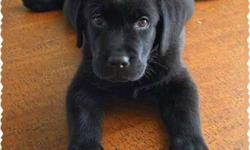Exotic Black and Cream Labrador puppies male at 9999