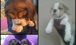Superb quality breeds All quality all breed dogs and