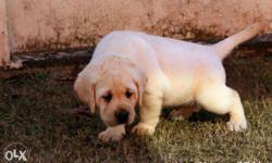 Show quality lab puppies available pure breed female