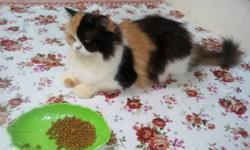 Female calico, two years old, heavy bone,porty trained,