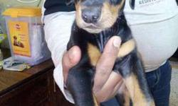 i have female doberman puppies sale in show quality and
