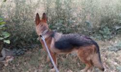 Female german shepherd. griendly with family kids and