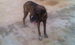 female great dane dog 3 year 4 months old in healthy