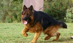 female heavy size gsd proven adult sale without papper
