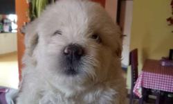 Female Lhasa apso pup (first litter) I am not a
