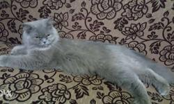 It is a semi punch female persian cat nine months old