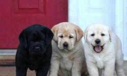 First Quality Labrador Puppies - Pathanamthitta