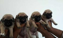 Four Fawn Pug Puppies
