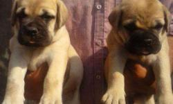 =FRENCH KENNEL=Show quality heavy Bull mastiff pup