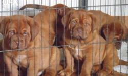 french mastiff dogs & pups for bast price