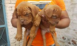 French mastiff puppy male or female both for sale Heavy