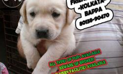 Labrador puppies available for sale Rs - 17.500 Quality
