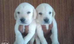 From white black fawn lab all avaliable with also other