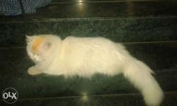 Full white proven semi punch male cat available for