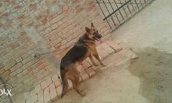 German female for sale..8 month di a 855-88-95-723