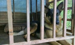 2yr old German Shepherd dog for sale