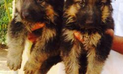 German Shepherd available male 11000 Female 7500 pure