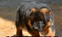 German Shepherd dog for Sale in Hyderabad, Andhra Pradesh
