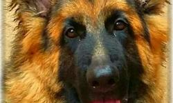 Healthy German shepherd female dog & puppy sale
