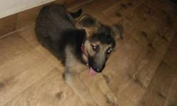 German Shepherd dog pure 2 month da