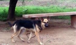 Complete Vaccinated German Shepherd Female Dog for