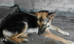 German shepherd female only 13 MONTH OLD