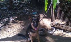German shepherd Male for sale