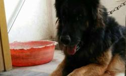 German shepherd male for stud (matting) not for sale