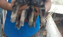 German Shepherd Pup Sale Male 6,000 & Female 4,000 show